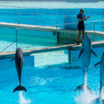 Dolphins in the middle of their show at Zoomarine