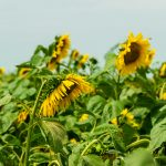 Field of blooming sunflowers with a blue sky background