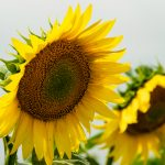 Beautiful Sunflowers Landscapes
