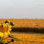 Beautiful field of sunflowers and blue sky